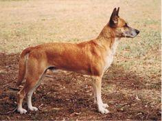 Dingo Lady: Napoleon (the Dingo) wins at Waterloo