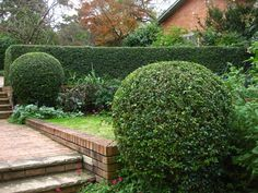 Clipped Murraya paniculata hedge with clipped Murraya spheres Murraya Paniculata, Neon Rainbow, Late Summer, Summer Garden, Topiary, Hedges, Green Leaves, White Flowers, Stepping Stones