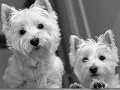 Those sweet Westie faces!