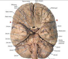 25 Neuroanatomy ideas   anatomy and physiology, cranial ...