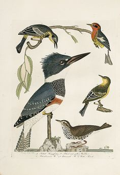 Alexander Wilson American Ornithology Bird Prints 1871