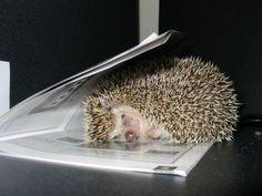 hedgehogs - Bing Images