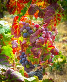 Luscious wine grapes on the vine ready for harvest at this beautiful Amador County vineyard. Great image to compliment a wine lover's home decor.