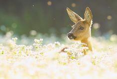 Roe Deer (Ree)
