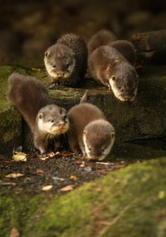 Chester Zoo& Otter Pups Learn to Swim - ZooBorns