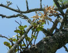 A Orquídea :: Exibir tópico - Cattleya forbesii JB Rio