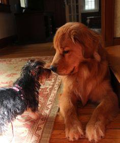 Clyde meets Georgia.....68 lbs. of Golden Retriever letting a 3 lb. terrier puppy run the show!