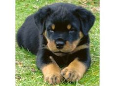 rottweiler.... must have one of these precious lil guys soon!