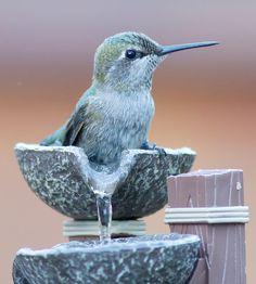 hummingbird in fountain
