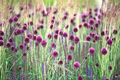 Drumstick allium adds interest and movement to the border with its dense egg-shaped flower heads atop straight and slender stems, delicately turning from green to purple as they mature. Backyard Flowers, Plants, Spring Bulbs, Purple Flowers, Allium Sphaerocephalon, White Flower Farm, Garden Bulbs, Purple Garden, Spring Flowers