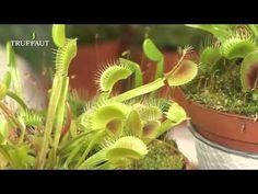 """Tout savoir sur la plante carnivore """"attrape mouche"""" ! #Dionaea"""