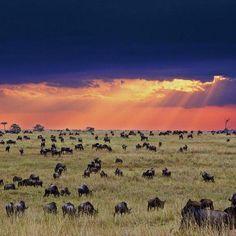 Masai Mara Wildebeest Migration this summer Vacation. See the mara Madness this year: Click here: http://nairobinationalparktours.com/blog/307-3-days-masai-mara-budget-camping-site-safaris-tours.html