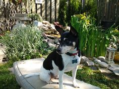 My sweet rat terrier hanging out by the pond!