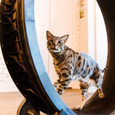 Angus the Savannah Cat Exercise Wheel, Unique Cats, Cute Kittens, Sleepy Cat, Savannah Chat, Funny Cats, Kitty, Animals, Little Kitty
