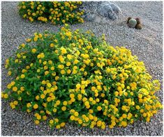Lantana New gold - mounding and not one of the largest varieties. Planted in front. Would also look good spilling over rocks House Landscape, Landscape Design, Garden Design, Landscaping Plants, Garden Plants, Mediterranean Plants, Hummingbird Garden, Drought Tolerant Plants, Flower Beds