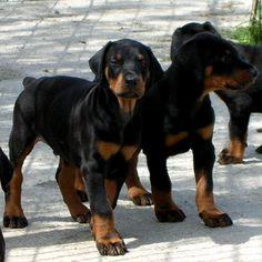 dobermann puppies! *-*