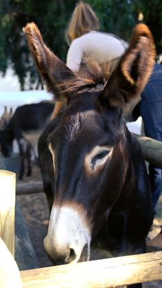 Twice a week we give our donkeys a good brush. This helps to keep their summer coats soft and smooth. Come say hello to the donkeys next time you visit Babylonstoren, South Africa. Farm Animals, Animals And Pets, Funny Animals, Cute Animals, Cute Donkey, Horse Videos, Summer Coats, Cow Shirt, Pet Fox