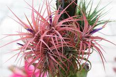 Nome Científico:  Victoria Tillandsia   Nome Popular: Tillandsia Victoria   Família: Bromeliaceae   Subfamília: Tillandsioideae    Orige...