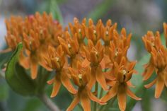 Asclepias tuberosa, Butterfly Weed    Source: https://imgur.com/j4VmaDx