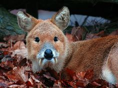 This is quite the fearsome creature, Chinese water deer. Wildlife Photography, Animal Photography, Beautiful Creatures, Animals Beautiful, Baby Animals, Cute Animals, Small Animals, Wild Animals, Water Deer