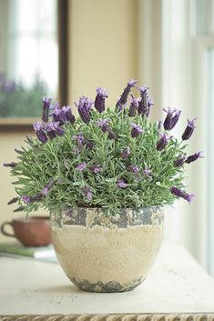 How To Care For Potted Lavender - Plant Pot - Ideas of Plant Pot - french lavender in rustic pots lining the aisle Herb Garden, Garden Plants, Indoor Plants, Terrace Garden, Indoor Garden, Flowering Plants, Potted Plants Patio, Potted Garden, Garden Web