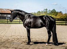 Dubarry is a 7 year old registered black Hanoverian stallion  who stands at 17.0hh.
