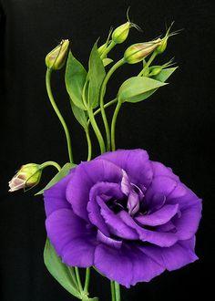 Llisianthus.