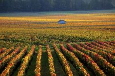 The vineyards of Burgundy   21 Magical Photos That Will Make You Fall In Love With FranceThis also llookslike it could be home.