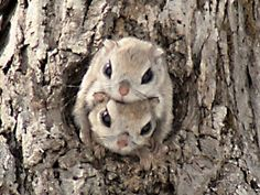japanese dwarf flying squirrel- can you be any cuter??