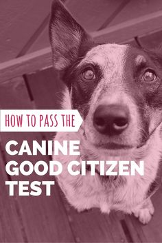 Learn how to pass the Canine Good Citizen (CGC) test with our study guide! Buffy would not pass this