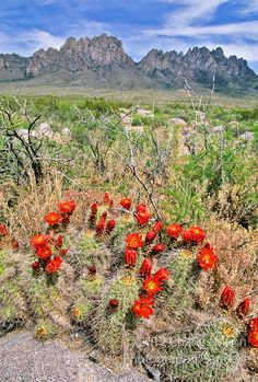 In April and May the bright red flowers of a claret cup cactus, Echinocereus triglochidatus, appear beneath the Organ Mountains of the Chihuahuan Desert near Las Cruces, New Mexico - Charles Mann photo