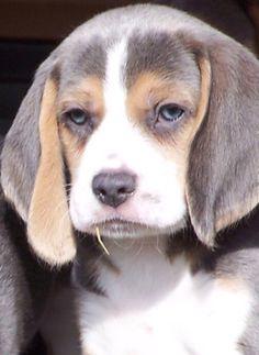 Beagle Silver Tricolor ojos azules