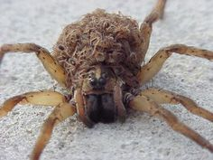 wolf spiders; I'm a good Mama, I carry my babies on my back!