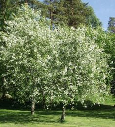 TREE : Prunus Padus x1