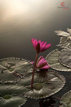 早上好 Good Morning, Water Lily, by CK NG.... #water #lily #Thailand #Phatthalung