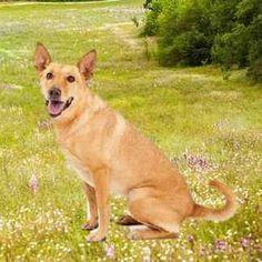 Scooby at the Park (Carolina Dog, American Dingo) My