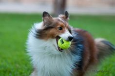 Sheltie Mia with the ball