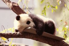 Baby pandas are known as cubs. Female pandas carry their babies for about 5 months, and have no more than two cubs at a time. Cubs are extremely small when they are born, weighing less than six. Photo Panda, Panda Mignon, Baby Animals, Cute Animals, Baby Pandas, Giant Pandas, Sleepy Animals, Tired Animals, Baby Koala
