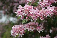 Deutzia rosea, Trojpuk růžový