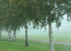 Herkkupurkki: valokuva, birch, mist