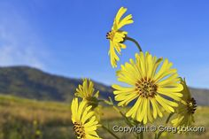 """""""Four O'clock Flower"""" (2 of 4)  Bear Valley Springs, California  With all the snow in Tehachapi today I thought I'd share some sun and warmth!  Copyright © MMVII Greg Loskorn  Milepost Imaging"""