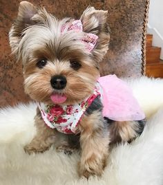 Tag your friends & Like this post . Cute Small Dogs, Cute Baby Dogs, Cute Little Puppies, Cute Dogs And Puppies, Baby Puppies, Cute Baby Animals, Doggies, Yorky Terrier, Teacup Yorkie