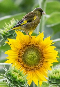 Bird (? Finch ?)  on a Sunflower  -  Colors:  Yellow and Green
