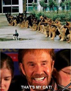 Chuck Norris is proud of his cat in front Of German shepherd dogs