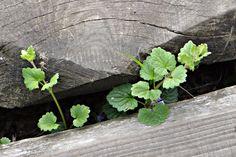Poklady naší přírody: Popenec břečťanolistý Parsley, Herbs, Plants, Food, Essen, Herb, Meals, Plant, Yemek
