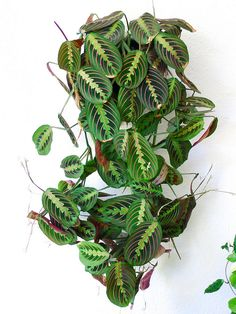 Maranta Red Prayer Plant - House Plants - ideas of House Plants - Maranta leuconeura erythroneura. Plantas Indoor, Decoration Plante, Plants Are Friends, Outdoor Plants, Porch Plants, Green Plants, Tropical House Plants, Tropical Garden, Hanging Plants