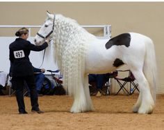 A Gypsy Vanner - Absolutely gorgeous!