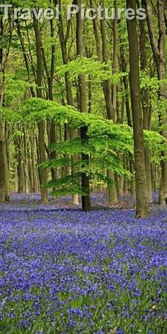 Bluebells  in West Wood Lockeridge, Marlborough Wiltshire England by luisa