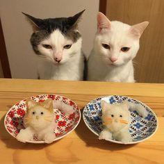 Diese beiden Katzen verfolgen jedes Essen ihrer Herrchen | Knaller