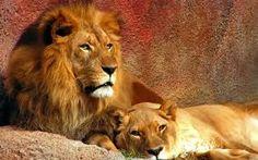 """LEV - """" král zvířat """" Lev je hned po tygrovi druhá největší kočkovitá šelma. Lev žije převážně v afrických savanách. Žije ve smečkách, vůdcem smečky je vždy nejsilnější samec. Loví většinou lvice. V divočině se lvi dožívají 10 - 14 let, kdežto v zajetí se mohou dožít i 20 let."""